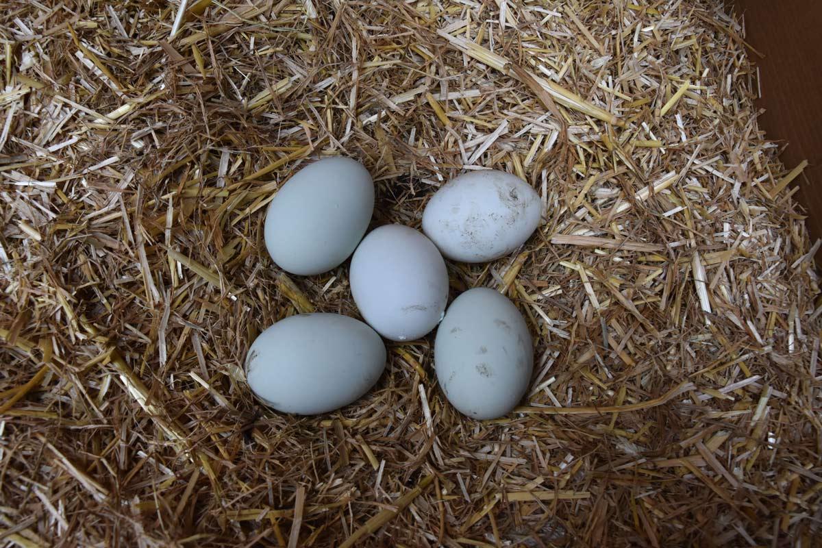 Cream leg bar blue eggs